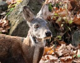 moschus fanged deer.jpg